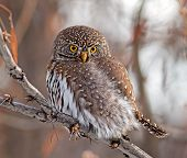 stock photo of hedwig  - During a southern Alberta winter a diminutive Northern Pygmy - JPG