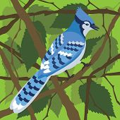 picture of blue jay  - The boldly patterned North American Blue Jay in a beech tree - JPG