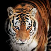 picture of tigress  - The tiger portrait closeup on the black - JPG
