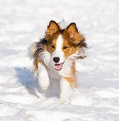 stock photo of snow border  - The sable border collie runs in snow - JPG