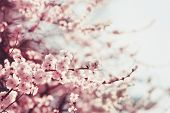 picture of sakura  - Spring Cherry blossoms pink flowers. Sakura tree. ** Note: Shallow depth of field - JPG