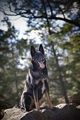stock photo of belgian shepherd  - An alert large male German Shepherd Dog Malinois mixed breed sits and pants on a large rock in the woods outside.