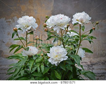 Blossoming white peonies.