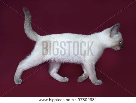 Thai White Kitten Going On Burgundy