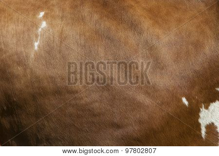 Side Of Cow With White Spots On Light Brown Hide