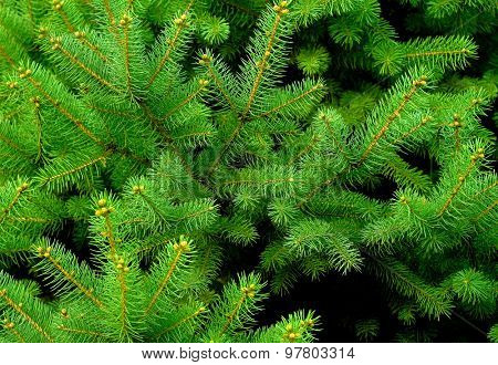 Green branch of the pine tree close up photo