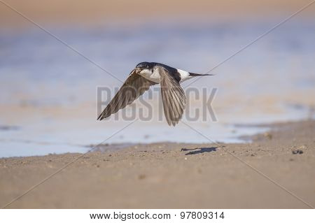 House martin Delichon urbica flying off with mud for nest building in beak