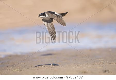 House martin Delichon urbica flying with mud in beak for nest building