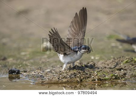 House martin Delichon urbica flying away with mud for nest building
