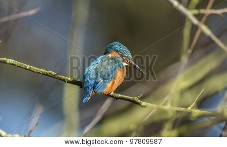 Kingfisher perching on a branch