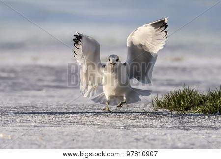 Common gull Larus canus flying from icy ground