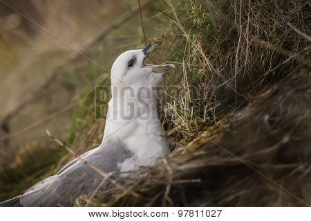 Fulmar Fulmarus glacialis squawking on the edge of a cliff