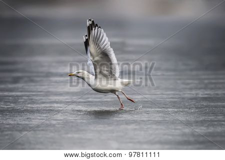 Herring gull Larus argentatus flying from a frozen pond