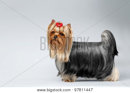 Portrait Of Yorkshire Terrier Dog On White