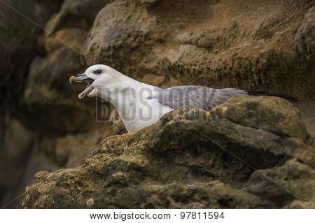 Fulmar Fulmarus glacialis on a cliff squawking