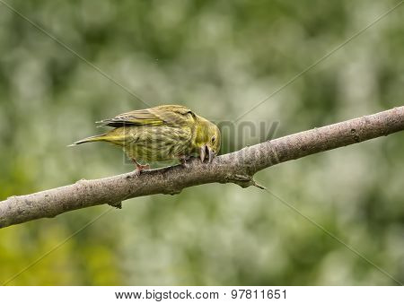 Greenfinch Carduelis chloris on a branch cleaning and shaping its beak