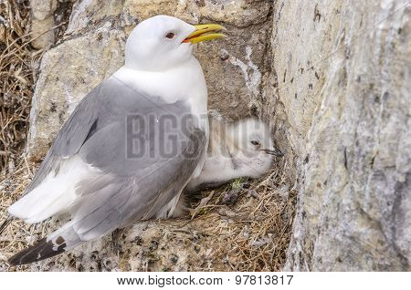 Kittiwake Rissa with a chick on its nest