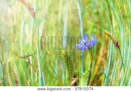 Blue cornflower in the field with sun rays