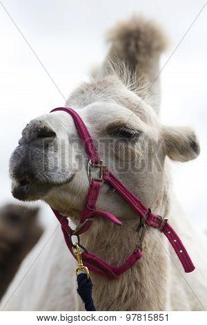 Dromedary Camel Head