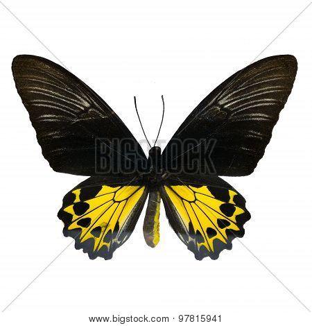 Rajah Brookiana Butterfly