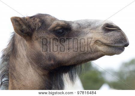 Brown Dromedary Camels Head
