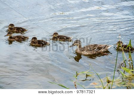 Mother-duck And Ducklings