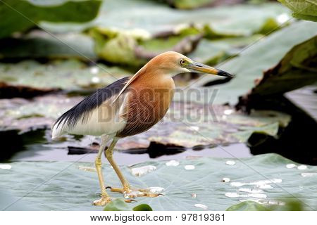 Javan Pond Heron Ardeola Speciosa
