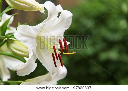 Natural Blooming White Lily Flowers