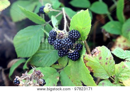 Bunch Of Blackberries On The Bush