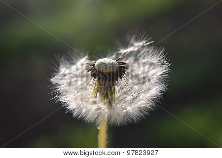Dandelion Is Half Blown Away By The Wind