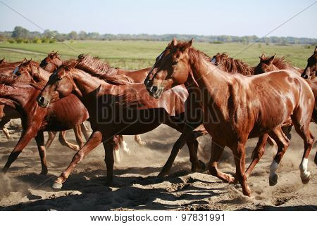 Herd Galloping Across The Desert Kicking Up The Dust
