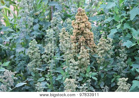 Quinoa superfood crop grows at farm