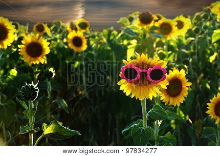 pink sunglasses on sunflower