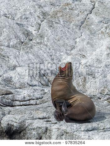 Sea Lion Yawn On White Stone