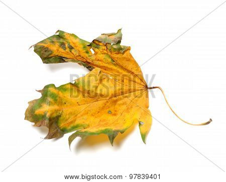 Autumn Dry Maple-leaf On White Background