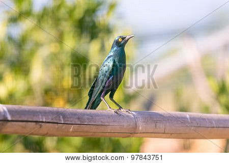 Blue eared glossy starling standing proud on a branch.