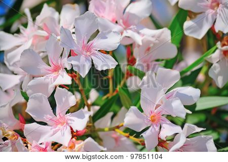 Close Up Of Pink Oleanders