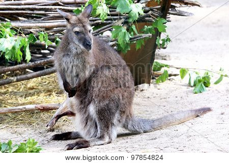 Kangaroo With A Large Kangaroo In The Bag