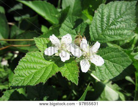 Blooming bramble