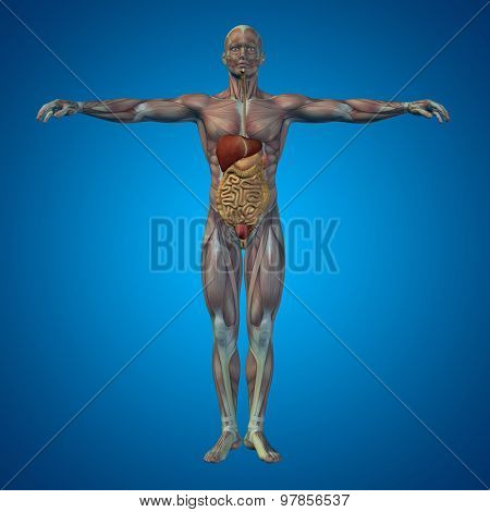 Concept or conceptual anatomical human or man 3D digestive system on blue background
