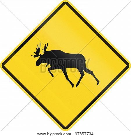 Moose Crossing In Canada