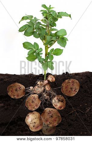 potato vegetable with tubers and leaves in ground.