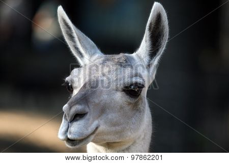 Portrait Of A Fluffy Llama Close Up