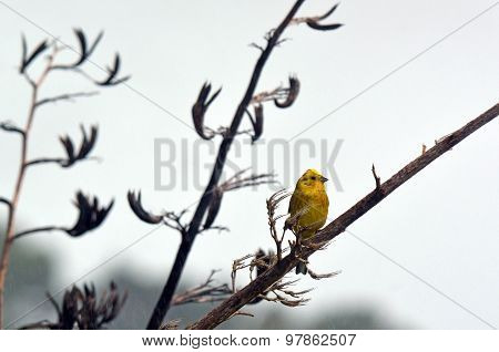 Male Yellowhammer Sit On A Flax Plant Branch
