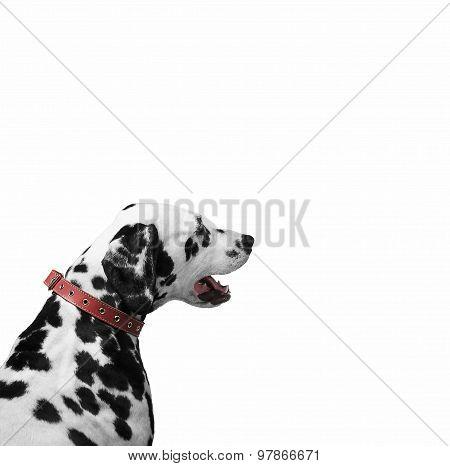 Dalmatian Dog Looking
