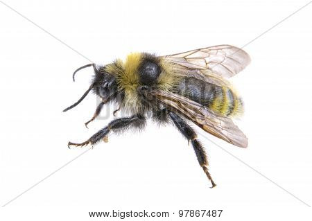 Bumble-bee On A White Background