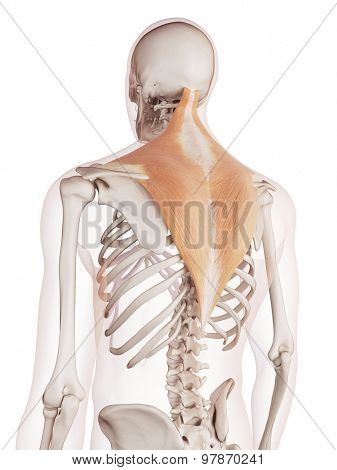 medically accurate muscle illustration of the trapezius