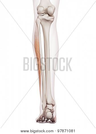 medically accurate muscle illustration of the peroneus longus