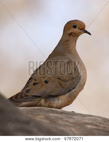 Mourning Dove Curious