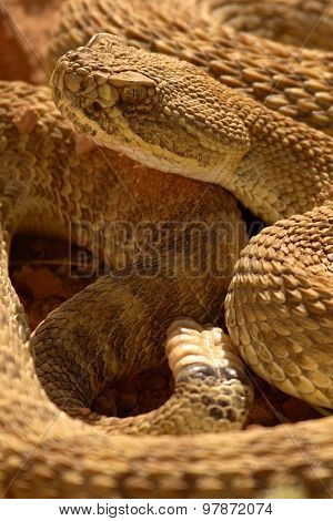 Rattlesnake And Rattle